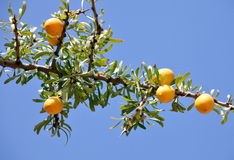 Fruits of Argan tree Stock Image