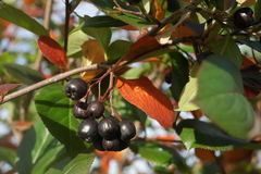 The fruits of Aronia Royalty Free Stock Images