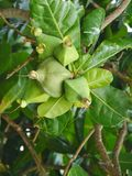 Fruits in the Asian Putat tree Stock Photo