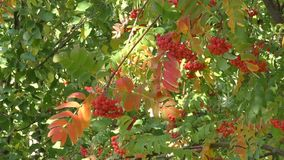 Fruits of autumn Ashberry stock video footage