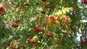 Fruits of autumn Ashberry stock footage