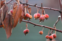 The fruits of autumn. Dried red fruit on the branch with rain drops Royalty Free Stock Image