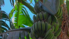 Fruits of a banana on a tree against a blue sky. Movement of the camera along the fruits of a banana on a tree against a bright blue sky stock video