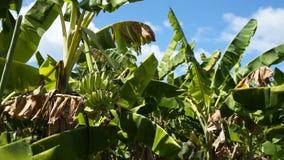 Fruits of bananas on a banana tree stock footage