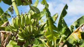Fruits of bananas on a banana tree. stock video