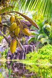 Fruits bananas on the palm at exotic resort Royalty Free Stock Photography
