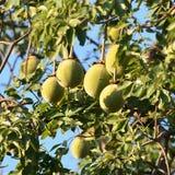 Fruits of baobab Stock Images