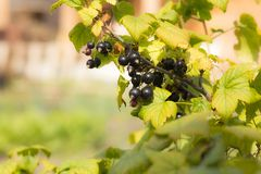 Fruits of berries black currant on a branch, close-up royalty free stock photo