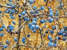 Fruits of the blackthorn Prunus spinosa Stock Photos