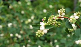 Fruits blancs d'un snowberry commun Photo libre de droits