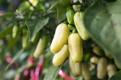Fruits blancs de maturation de habaneros dans le jardin Image libre de droits
