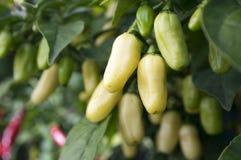 Fruits blancs de maturation de habaneros dans le jardin Images libres de droits