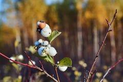 Fruits blancs sur le cornouiller de buisson Image libre de droits