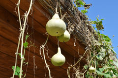 The fruits of bottle gourd. Growing tropical pumpkin Royalty Free Stock Images
