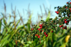 Fruits branch. Dark red Hawthorn fruits branch against the green corn field Stock Photos