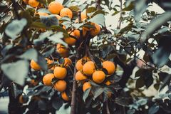 Fruits of orange persimmons on a branch with green leaves royalty free stock photos