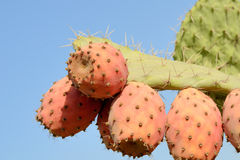 Fruits of cactus. Fruits of Opuntia ficus-indica cactus close-up on sky background Royalty Free Stock Photo
