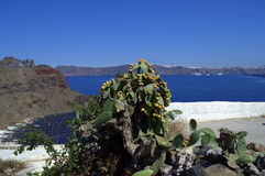 Cactus fruites,Caldera and Santorini,Greece Royalty Free Stock Images