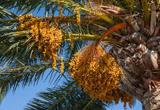 The fruits of Canary Island Date Palm Stock Photo