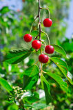 The fruits of the cherries on the branch. Royalty Free Stock Image