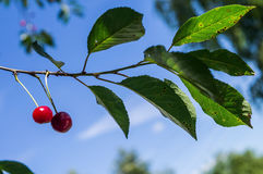 The fruits of the cherries on the branch. Stock Photography