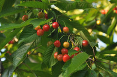 The fruits of the cherries Stock Photography