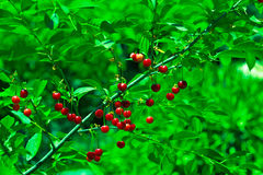 Fruits of cherries on the tree, spring.  Stock Photo