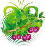 Fruits and cherry leaves. Hanging on a branch in an ornament environment Royalty Free Stock Images