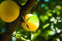 Fruits of cherry-plum on tree. stock image