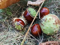 Fruits of chestnut. Fruits of chestnut on autumn grass royalty free stock photo