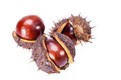 Fruits of chestnuts in dry shell isolated on white background Royalty Free Stock Photo