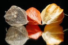 Fruits chinois de lanterne Photo stock