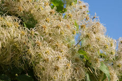 Fruits clematis Royalty Free Stock Images
