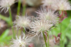 Fruits of common pasque flower Stock Photos