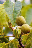 Fruits of a common walnut Royalty Free Stock Photos