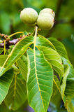 Fruits of a common walnut Stock Photography