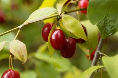 Fruits of Cornelian cherry Cornus mas. Fruits of a Cornelian cherry Cornus mas Stock Photos