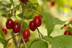 Fruits of Cornelian cherry Cornus mas Royalty Free Stock Photography