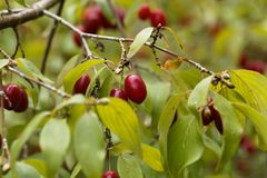 Fruits of Cornelian cherry Cornus mas. Fruits of a Cornelian cherry Cornus mas Stock Image