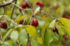 Fruits of Cornelian cherry Cornus mas Stock Image