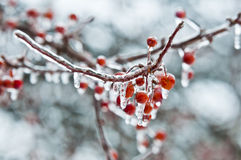 Fruits coverd in freezing rain Royalty Free Stock Image