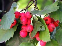 Fruits of Crataegus oxyacantha Royalty Free Stock Photography