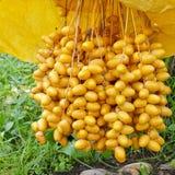 Fruits déchirés de datte Image libre de droits