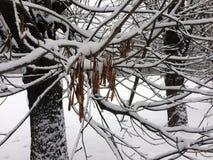 Fruits d'érable de forêt d'hiver sous la neige Photos stock