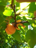 Fruits d'abricot Images libres de droits