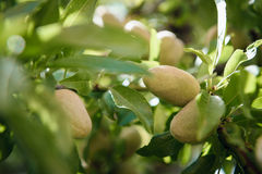 Fruits d'amande sur une branche photos libres de droits