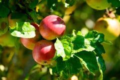 Fruits d'Apple sur une branche de pommier Photos libres de droits