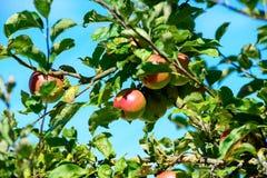 Fruits d'Apple sur une branche de pommier Image libre de droits