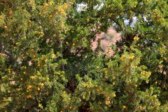 Fruits d'arbre d'argan Photo stock