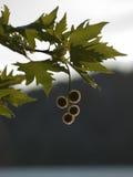 Fruits d'arbre plat dans Backlits Image stock